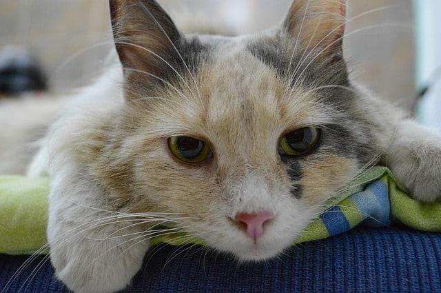 Katzenseuche Impfung
